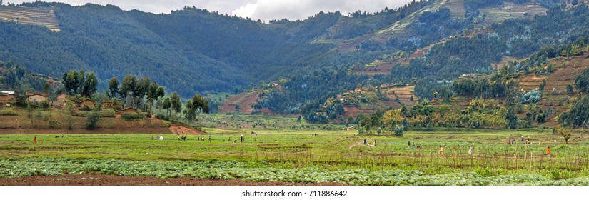 MUSANZE, RWANDA - OCTOBER 5, 2016: People are working their fertile volcanic fields. In the background a steep hillside with agricultural plots, Eucalyptus forest, and villages.