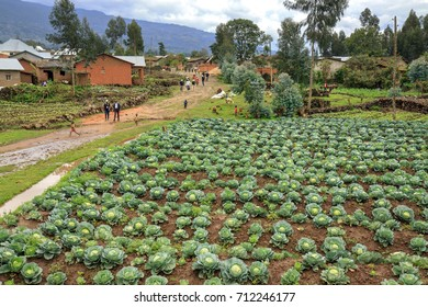 MUSANZE, RWANDA - OCTOBER 5, 2016:  field of cabbages grown in the fertile volcanic region of Northwest Rwanda. In the background the main street of a village after a rain shower busy with people.