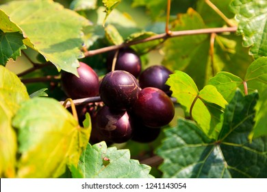 Muscadine Dark Purple Grapes Growing on a Vine