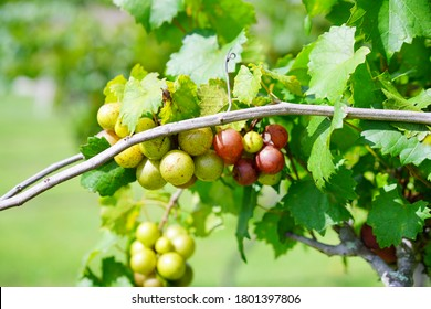 Muscadine Grape fruit on the branch in the harvest season in Florida