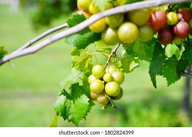 Muscadine Grape tree in the harvest season in Florida