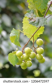 Muscadine grapes on the vine