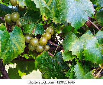 Muscadine Green Grapes Growing on a Vine