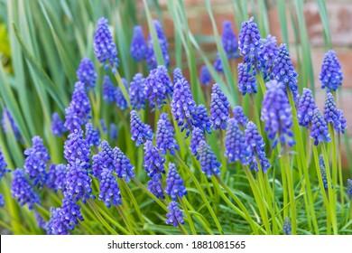 Muscari armeniacum close up, blue armenian grape hyacinths closeup, spring flowers in bloom, UK