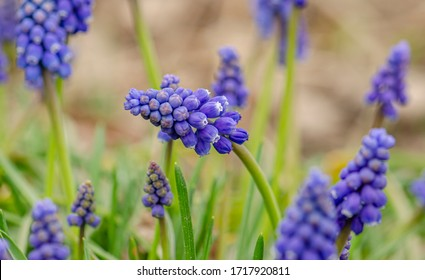 Muscari armeniacum or Grape hyacinth is a genus of perennial bulbous plants native to Eurasia. Group of muscari in garden early in the spring beautiful view.