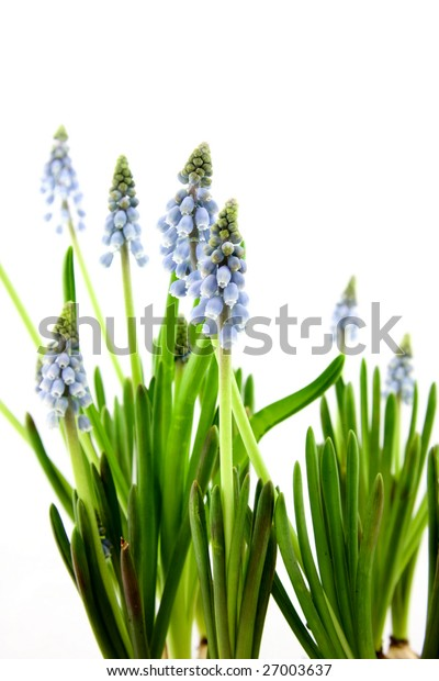 Muscari botryoides flowers isolated on white background