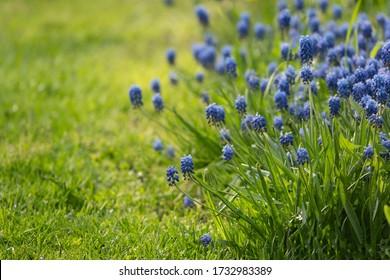 Muscari flower.Muscari armeniacum.Grape Hyacinths .Muscari flowers in warm sunshine on a blurred background.Spring flowers