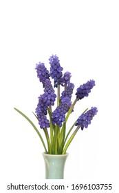 Muscari flowers blue grape hyacinth isolated on white background