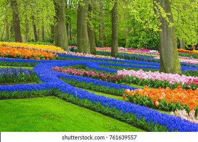 Muscari flowers in holland garden Keukenhof