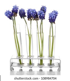 Muscari - hyacinth in test-tubes isolated on white