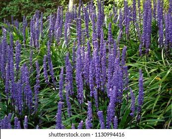 muscari liriope flowers