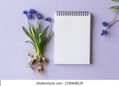 Muscari and notebook on a lilac background