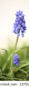 muscari on white background