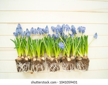 Muscari on a wooden background. Spring. Blue flowers. Wooden background. Easter holiday. Muscari bulbs with a root. Earth.