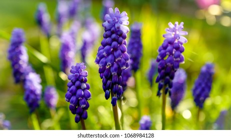 Muscari - spring flowers in a beautiful light