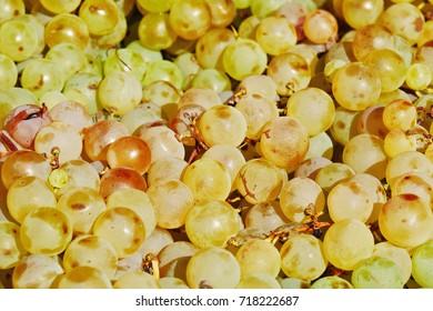 Muscat grapes, ripe sweet yellow berries closeup