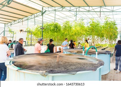 Muscat, Oman 8th February 2020. Aquaponic farming plantation inside a green house, growing varieties of Lettuce leaves full of organic nutritional values without soil.