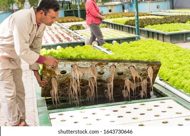 Muscat, Oman 8th February 2020. Aquaponic farming plantation inside a green house, growing varieties of Lettuce leaves full of organic nutritional values without soil, farmer showing aquaponic roots.