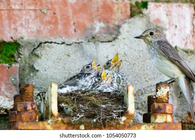 Muscicapa striata. The nest of the Spotted Flycatcher in nature. Russia, the Moscow region