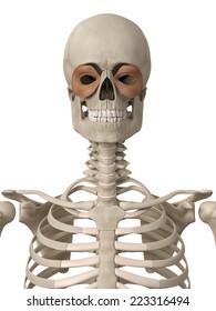 muscle anatomy - the orbicularis oculi