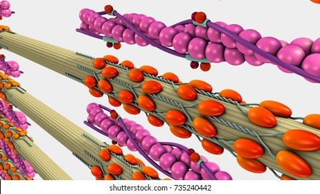 Muscle Contraction 3d illustration