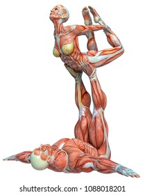 muscle couple man and woman yoga anatomy in an white background 3d illustration