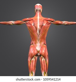 Muscles anatomy with nerves posterior view 3d illustration