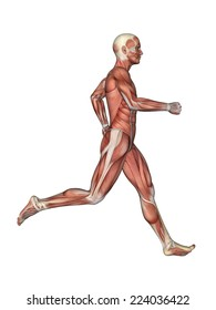Muscles of Male Anatomy in Motion Featuring male figure in running motion with showcasing major muscular groups such as deltoids, triceps, biceps, quadriceps, hamstrings, obliques and gluteus.