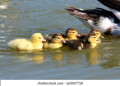 Muscovy Duck with small yellow ducklings swimming in a blue pond
