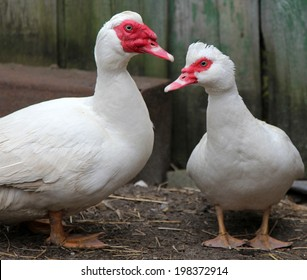 Muscovy ducks (Cairina moschata) in the farmyard