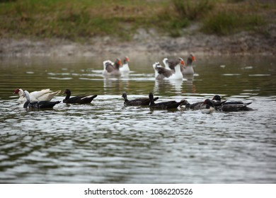 Muscovy ducks and geese swimming in pond, flock of happy waterfowl enjoying freedom on beautiful water