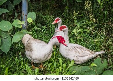 Muscovy ducks in a yard