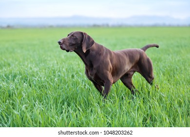 A muscular chocolate brown hound, German Shorthaired Pointer, a thoroughbred, stands among the fields in the grass in the point, sniffed the smell of a wild game.