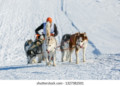 Musher hiding behind sleigh at sled dog race at snowy winter