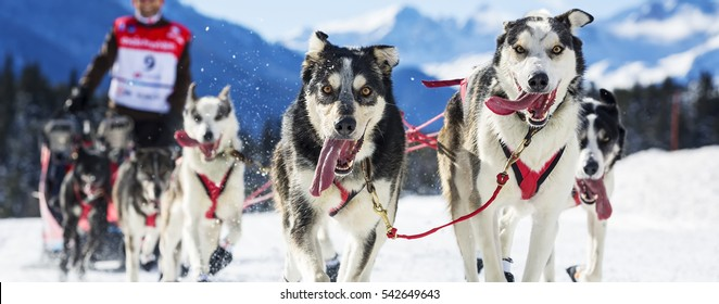 musher hiding behind sleigh at sled dog race on snow
