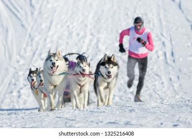 Musher runs alongside husky dogs climbing up the hill