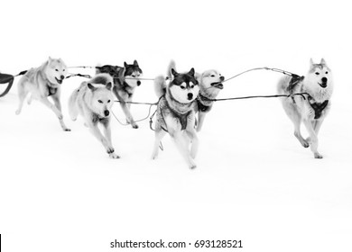 Mushing - for hardy men and strong dogs. Dog sledding with huskies. The winter sport of Nordic nature.