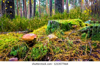Mushroom in autumn mossy forest scene. Autumn forest mushroom view. Mushroom in forest moss. Autumn green moss forest view