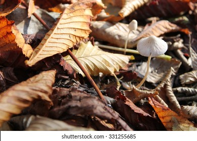 Mushroom between autumn leaves