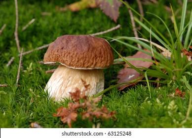 Mushroom -Boletus edulis in the forest