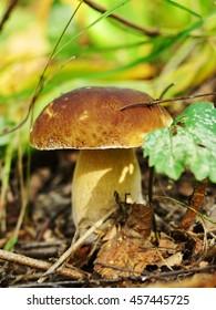 Mushroom Boletus (boletus edulis) in nature