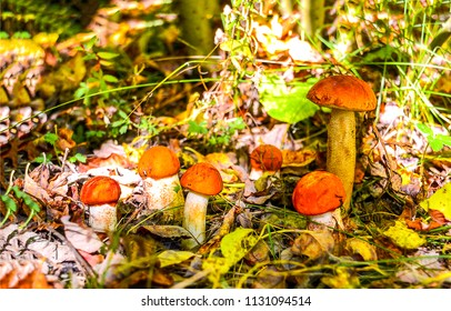Mushroom family in autumn forest scene. Mushrooms in autumn forrest. Mushroom in autumn forest close up
