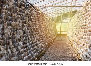 Mushroom farm / Organic oyster mushrooms and shiitake mushrooms mold in plastic bag for growing in mushrooms farm agriculture