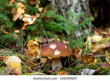 mushroom at a fir-tree in the autumn forest