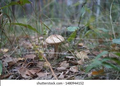 Mushroom in the forest. Mushroom flywheel