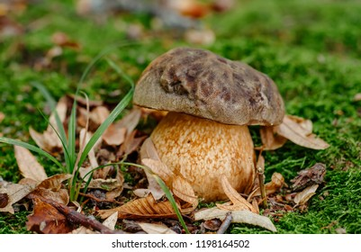 Mushroom in forest Porcino, bolete, boletus.White mushroom on green background.Natural white mushroom growing in a forest.