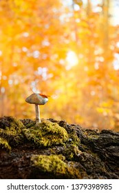 mushroom in grass, beautiful autumn season. little fresh mushroom on moss, growing in Autumn Forest. mushroom and leaf outdoors. Mushroom picking, fall time concept. copy space