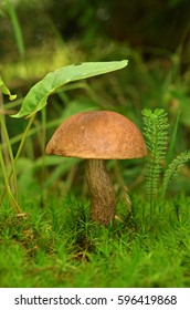 Mushroom growing in green moss. Brown Cap Boletus (Leccinum) close-up. Nature background