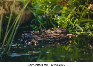 Mushroom grows above the water in a natural environment and reflects the lamellae in the water surface.