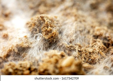 Mushroom growth medium with mycelium and fungal spores, white and brown macro background